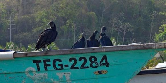 black vulture_DSC1384 shcpv 92d